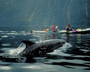 Dolphins & Sea Kayaking Milford Sound